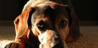 El cáncer de transmisión sexual que pueden padecer los perros
