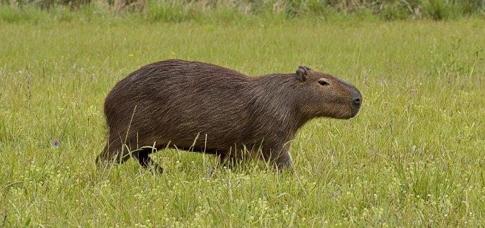 Chigüire o capibaro.