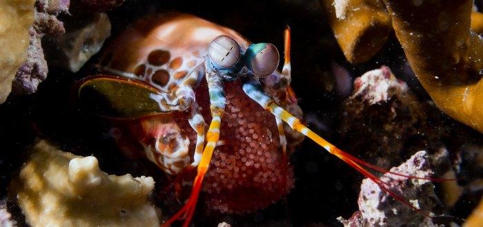 La langosta mantis, también conocida como mantis de mar.