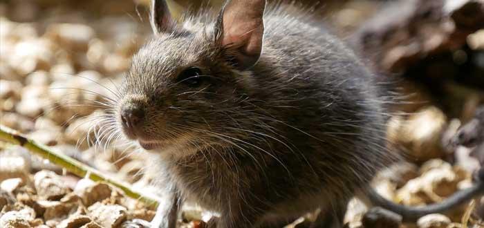 Científicos descubren que NO fueron ratas quienes propagaron la Peste