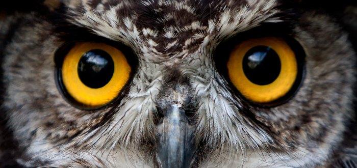 significado del búho, curiosidades del búho, curiosidades de los búhos