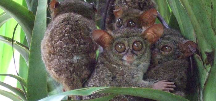 El Tarsero Fantasma, los ojos más hipnóticos del mundo animal