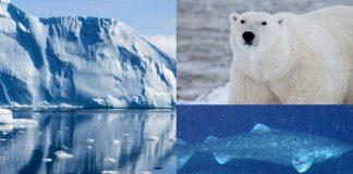10 Animales del Ártico que sobreviven al frío extremo