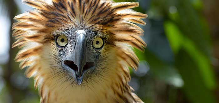 Animales raros del mundo, Águila filipina