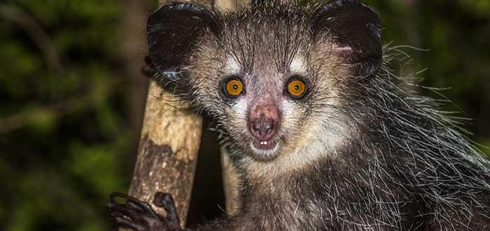 Animales raros del mundo, Aye-aye
