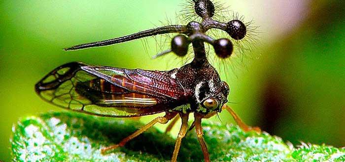 Animales raros del mundo, Bocydium globulare