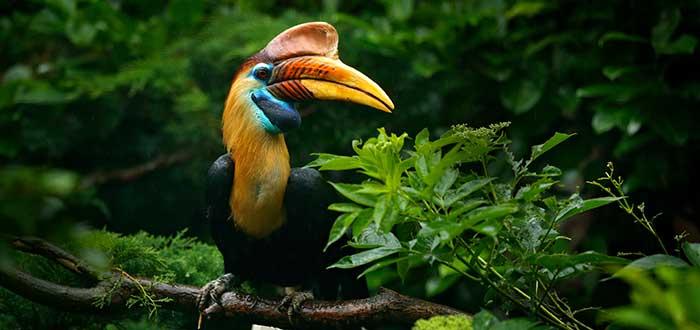 Animales raros del mundo, Calao de casco