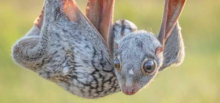 Animales raros del mundo, Colugo
