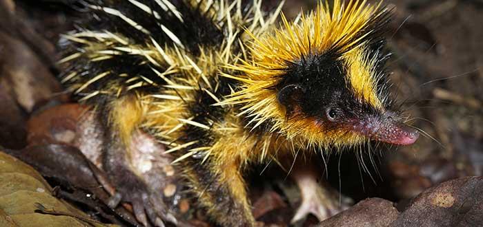Animales raros del mundo, Hemicentetes semispinosus