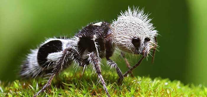 Animales raros del mundo, Hormiga panda