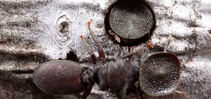 Animales raros del mundo, Hormiga tortuga