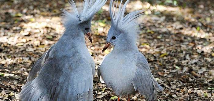 Animales raros del mundo, Kagu
