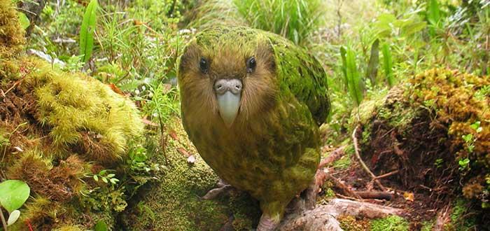 Animales raros del mundo, Kakapo
