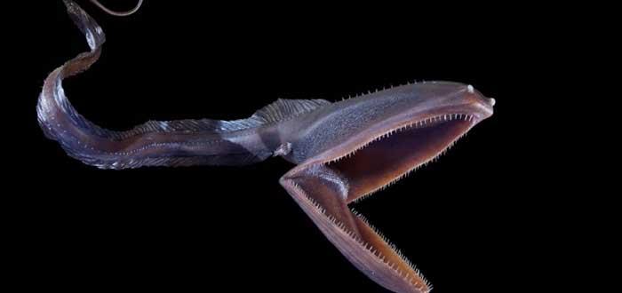Animales raros del mundo, Pez Pelícano