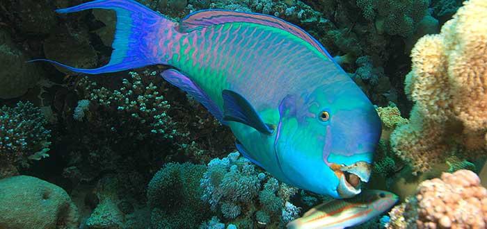 Animales raros del mundo, Pez loro azul