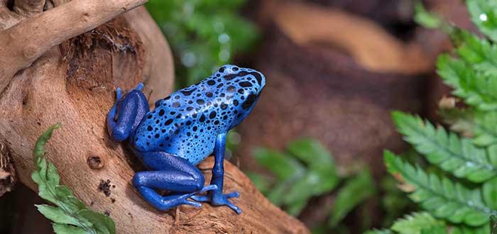 Animales raros del mundo, Rana flecha azul