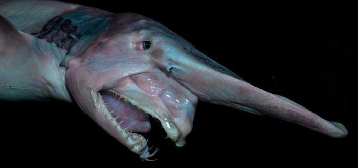 Animales raros del mundo, Tiburón duende