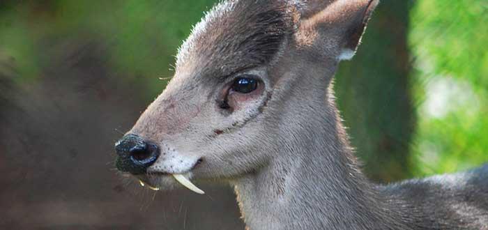 Animales raros del mundo, ciervo de copete