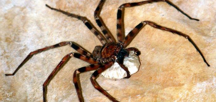 arañas gigantes, araña cazadora gigante