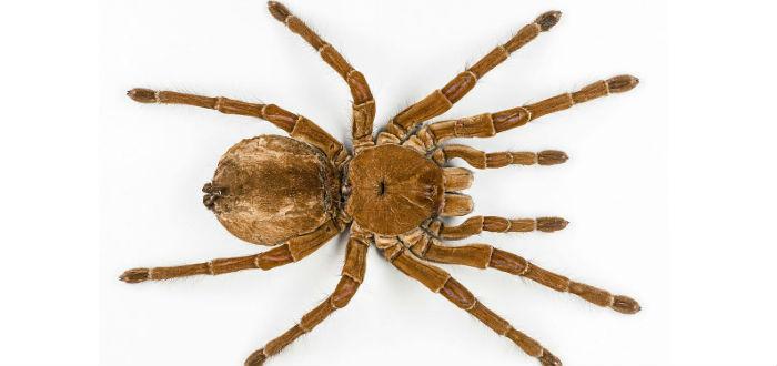 arañas gigantes, tarántula goliat