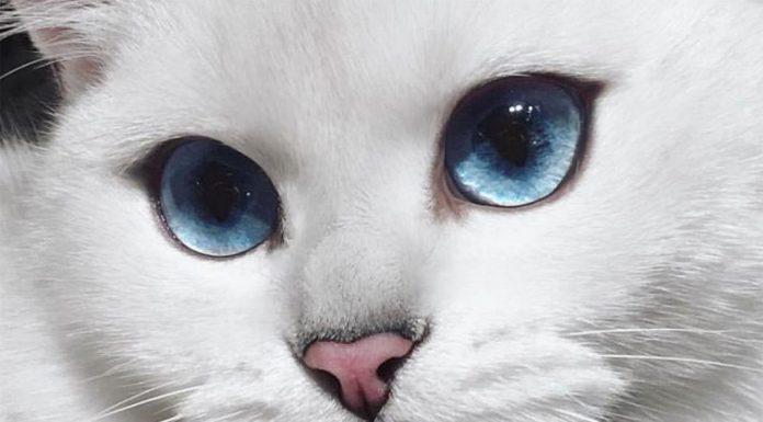 gatos blancos con ojos azules