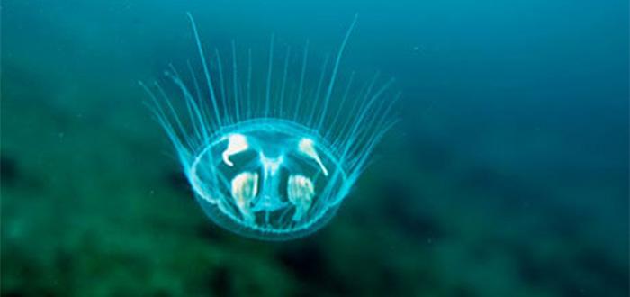 medusas de agua dulce