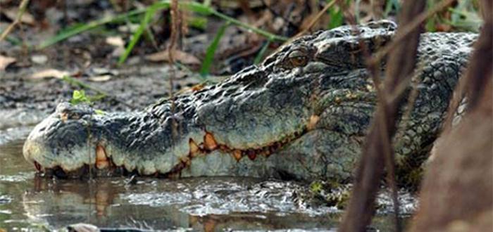cocodrilo de agua salada