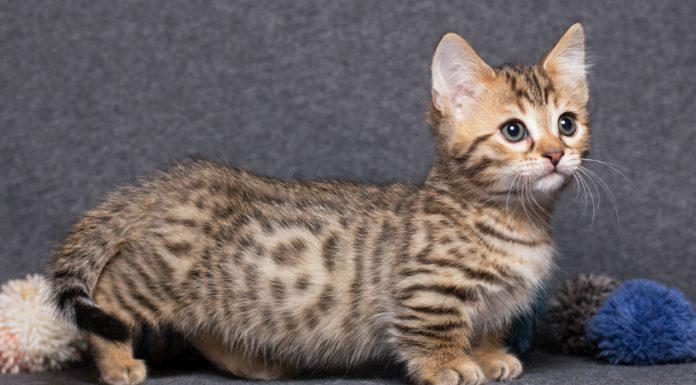 razas de mini gatos, munchkin