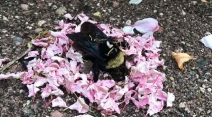 El Vídeo viral de hormigas llevando pétalos de flores a una abeja muerta