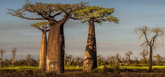 baobab arboles