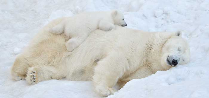 datos curiosos de canada los osos polares