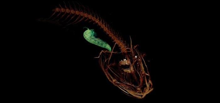 pez caracol de las marianas
