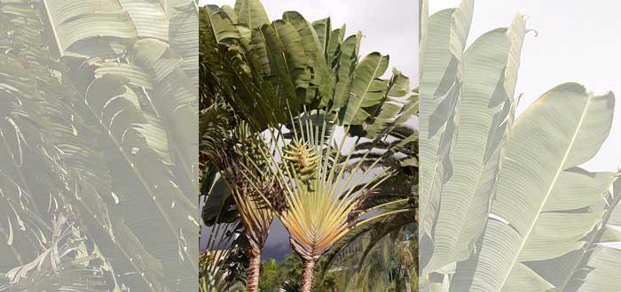 La leyenda del árbol del viajero | Una planta capaz de dar agua al sediento