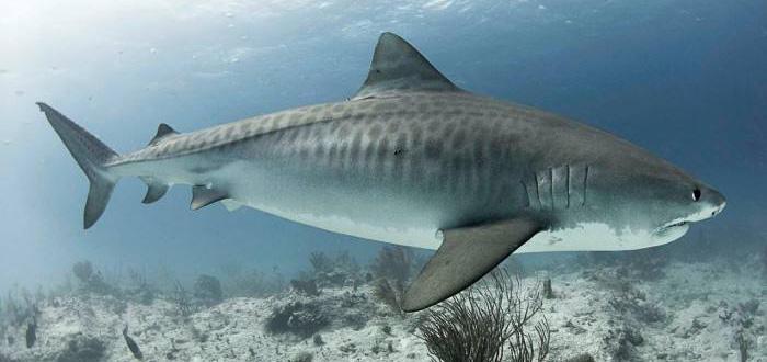 datos curiosos de los tiburones