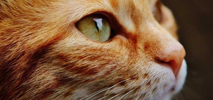 Gato Romano