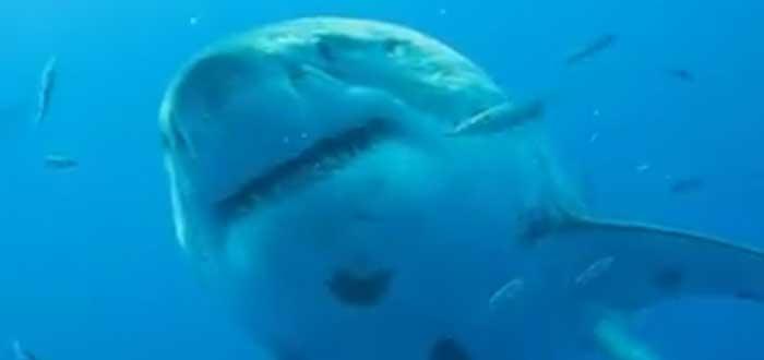 Tiburón blanco más grande