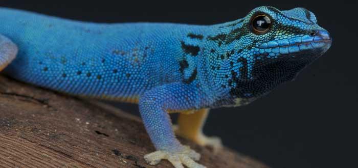 Gecko azul