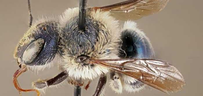 animales de color azul la abeja calamintha