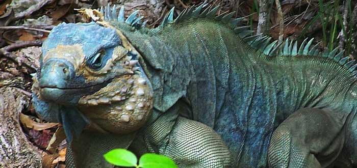 Las iguanas de color azul