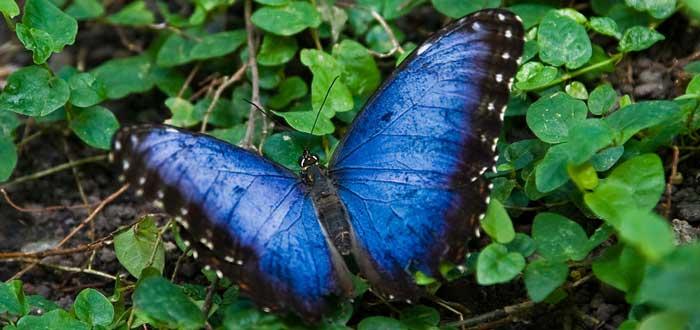animales de color azul las mariposas morpho