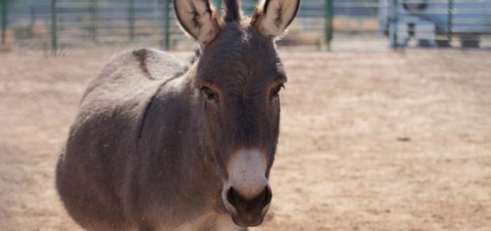 Animales Híbridos Reales mulo