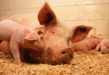 Curiosidades de los Cerdos
