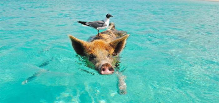 Curiosidades de los Cerdos nadando