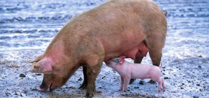 Curiosidades de los Cerdos pequeño