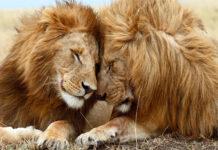 curiosidades de los leones