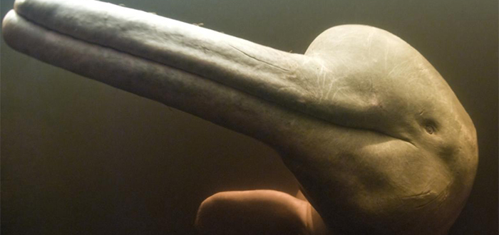 delfín de agua dulce