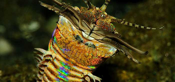 Gusano Bobbit | El terrorífico depredador del fondo del mar