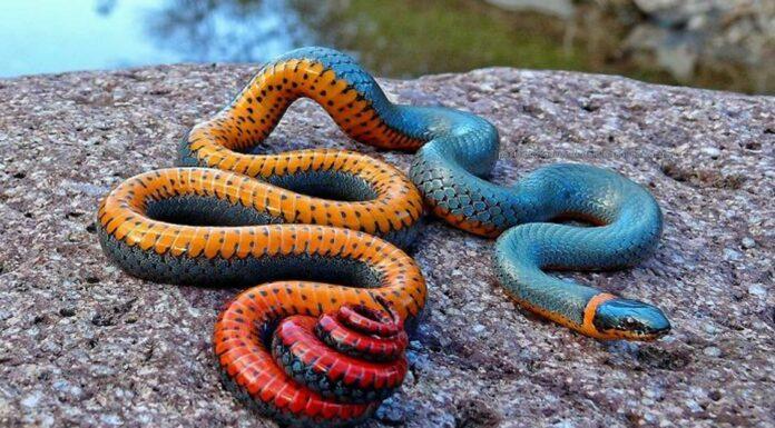La asombrosa Serpiente Ringneck | ¡Descubre sus alucinantes colores!