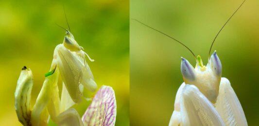 La Mantis Orquídea | 10 Curiosidades de esta bella asesina