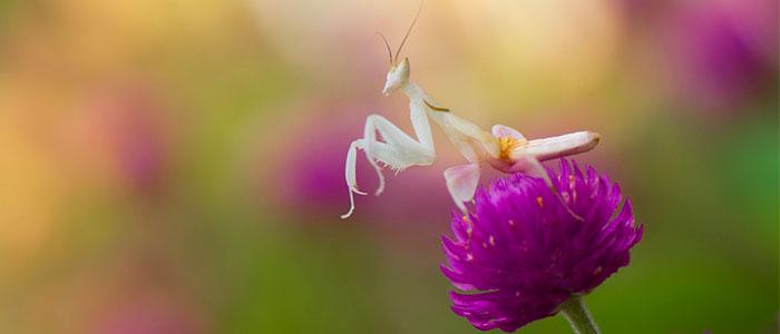 mantis religiosa orquidea